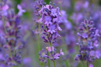 Lavendel für Hierbas Mallorca