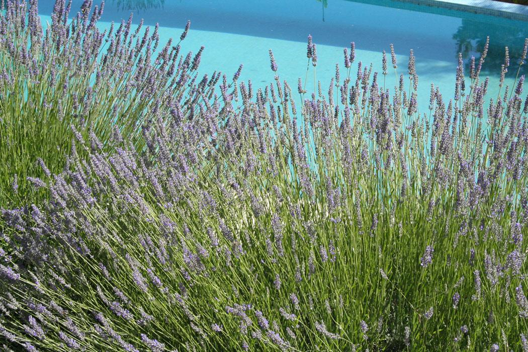 Lavendel, mediterran, Garten