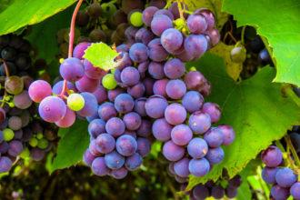 Weinboom auf Mallorca