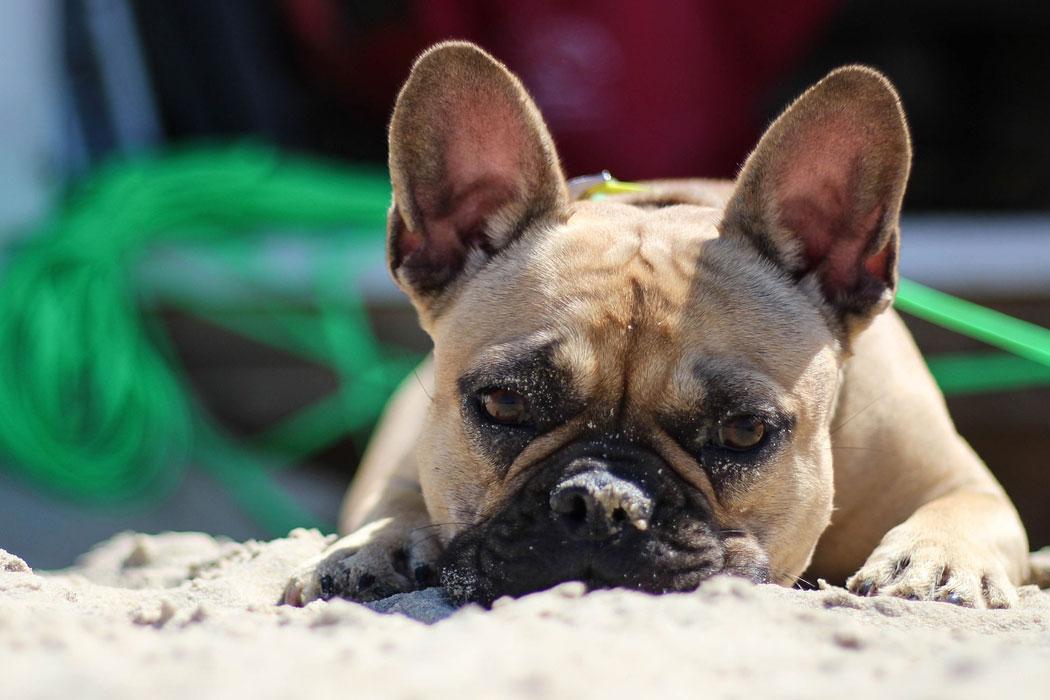 bulldog_web