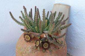 Mallorcas seltene Pflanzen