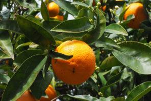 Orangen aus Mallorca