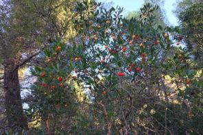 Erdbeerbaum auf Mallorca