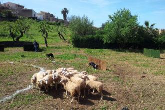 Authentisches Mallorca: Schafmesse