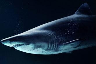 weisser Hai vor Mallorca