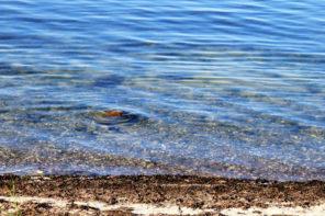 Seetang auf Mallorca
