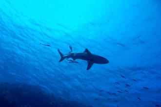 Weniger Hai vor Mallorca