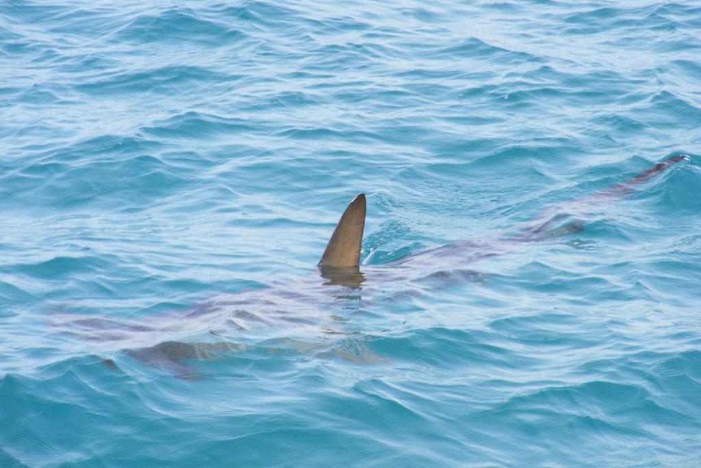WEniger Haie vor Mallorca