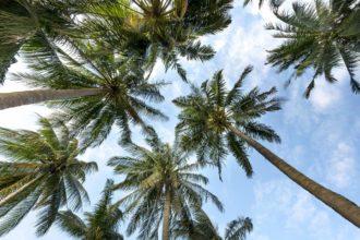 Palmrüssler erfolgreich auf Mallorca bekämpft