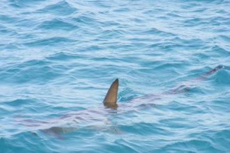 Haie für Mallorca